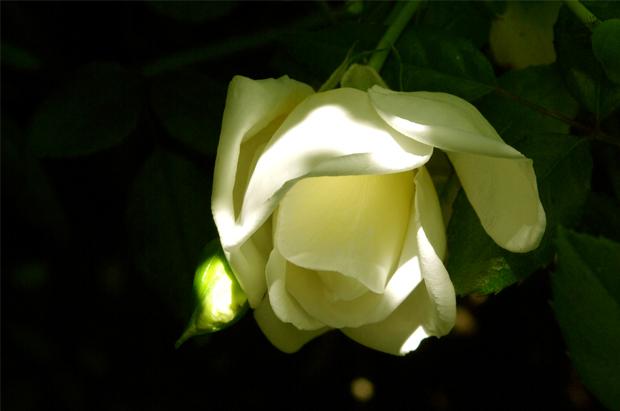 20110516_rosaalba_1.jpg